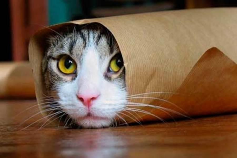 Цианоз у кошек
